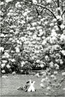 View of student on lawn through cherry tree, circa 1980